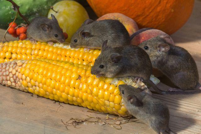 kis patkanyok esznek