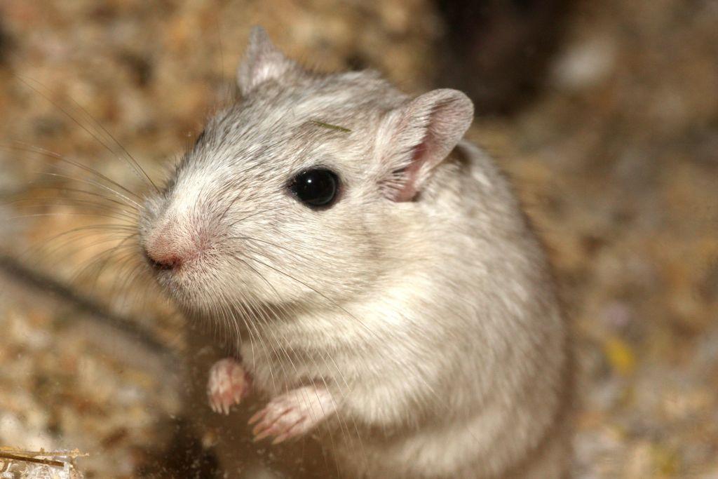 patkány ágaskodik